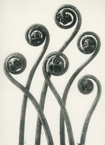 Adiantum pedatum, Maidenhair fern.