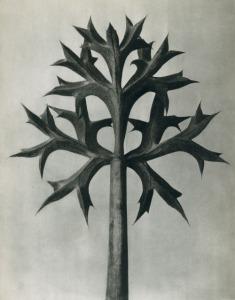 Eryngium-Bourgatii