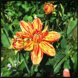 Dahlia in Flower Garden